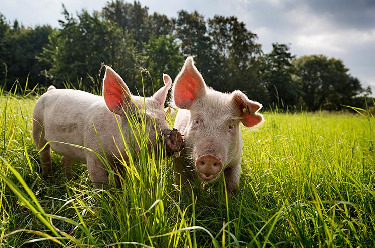 Distributeur_charcuterie locale_cochons dans l'herbe